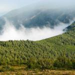 Знакомство с альпийской сосной в походе по Горганам.