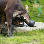 Коровы с Ворожески очень любят заварку...