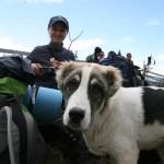 carpathian_young_shep-dog