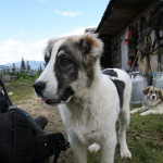 carpathian_young_shep-dog-2