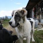 carpathian_young_shep-dog-2