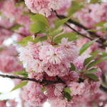 Цветение сакуры в Деловом